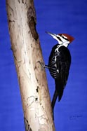 The Excavator - Pileated Woodpecker